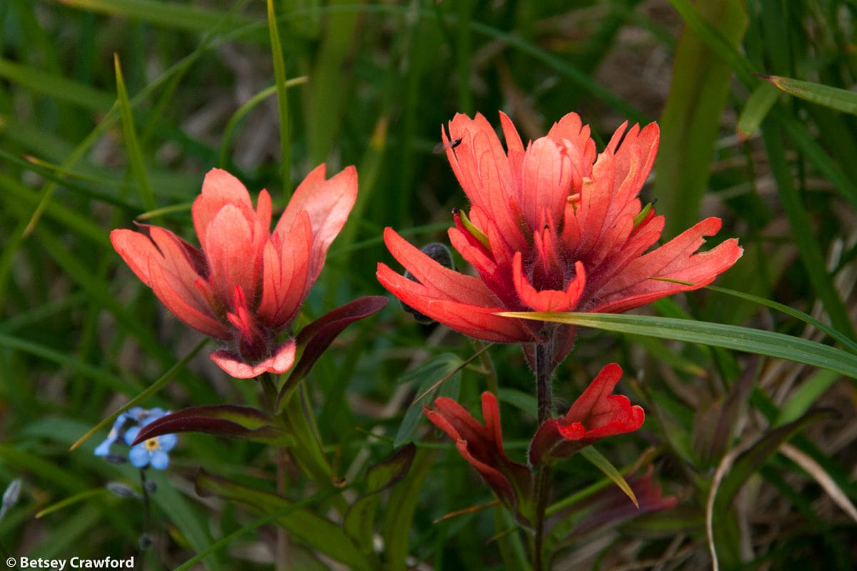 Alpine paintbrush (Castilleja miniata) Hudson Bay Mountain, Smithers, British Columbia