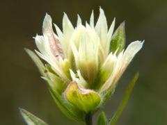 White paintbrush (Castilleja occidentalis) Waterton Lakes National Park, Alberta, Canada