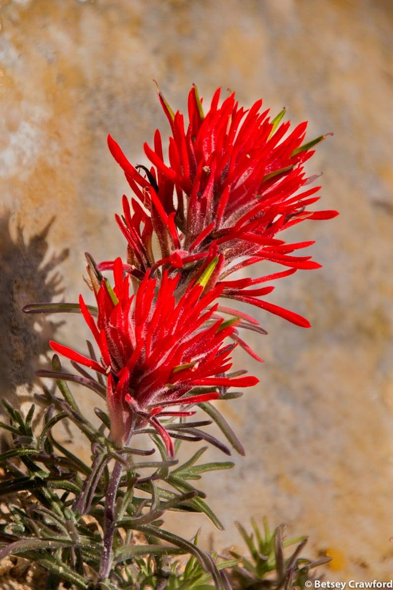 Desert paintbrush (Castilleja chromosa) Butler Ruins, Blanding, Utah