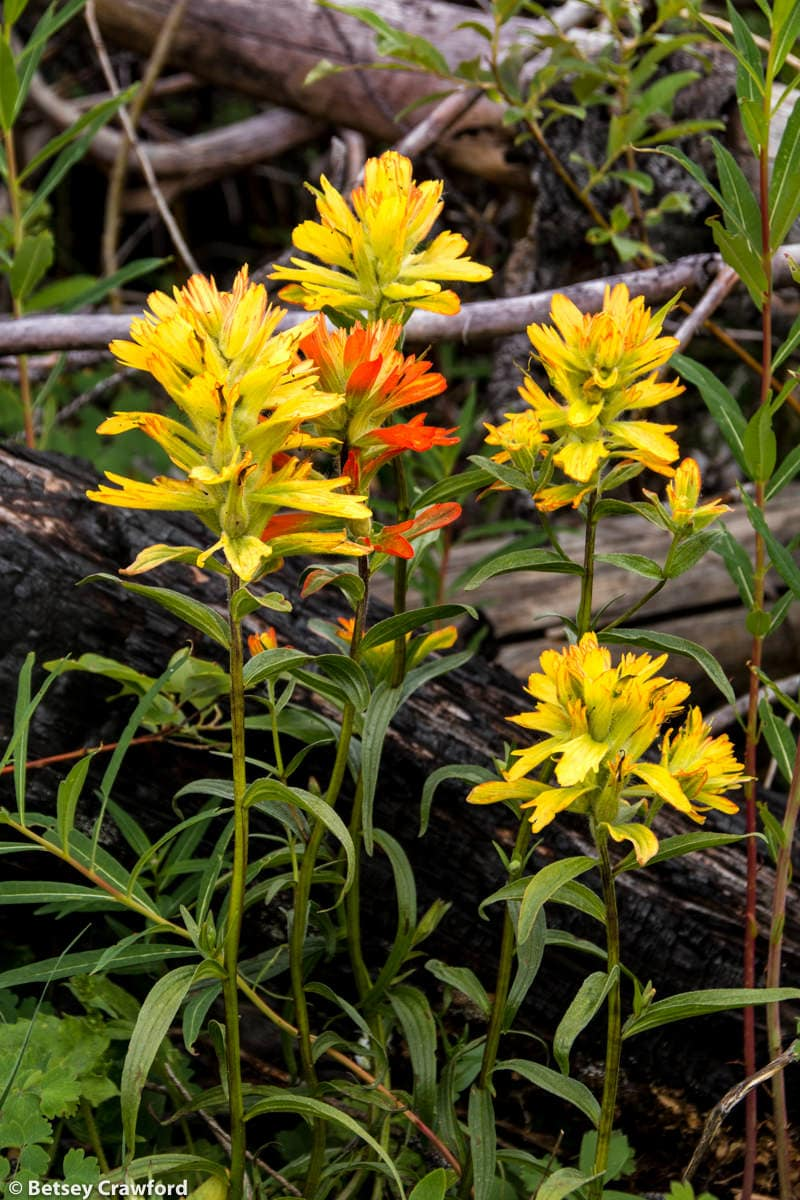 Harsh paintbrush (Castilleja hispidus) growing in a burned forest along the Stanley Glacier Trail, Kootenay National Park, British Columbia