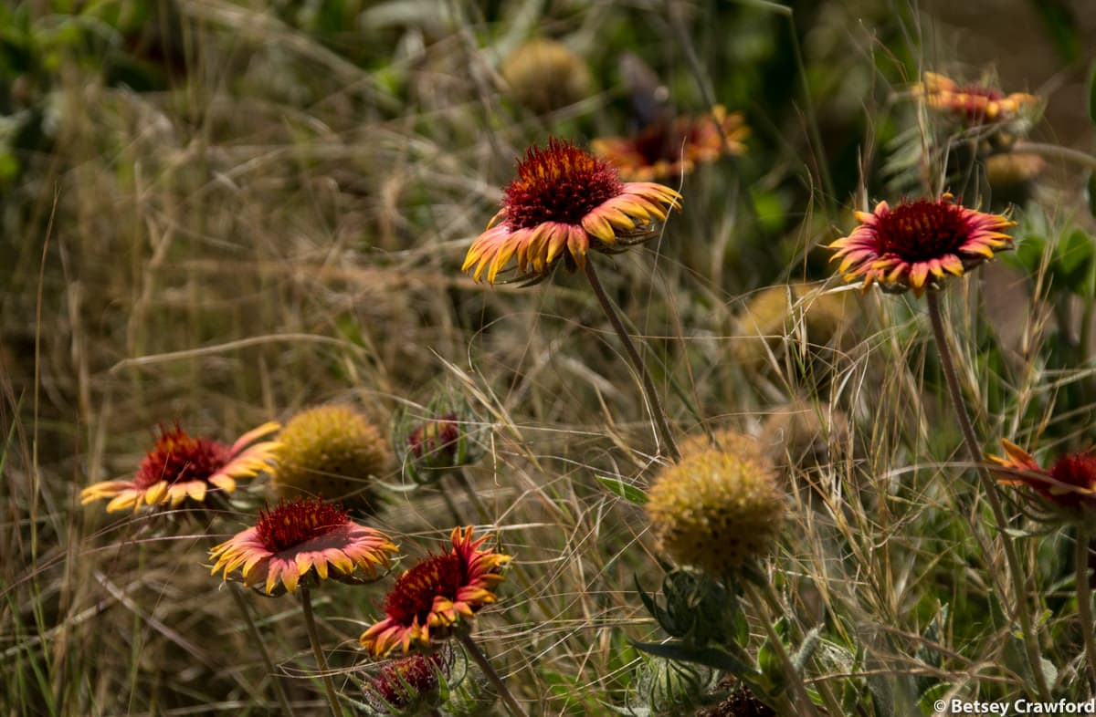 Blanket flower (Gaillardia pulchella) in Smoky Valley Ranch, Kansas