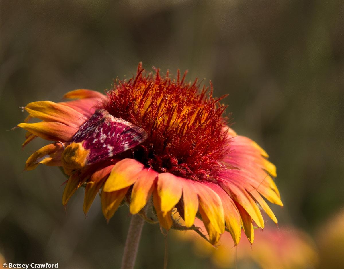 Blanket flower (Gaillardia pulchella) with matching moth in Smoky Valley Ranch, Kansas