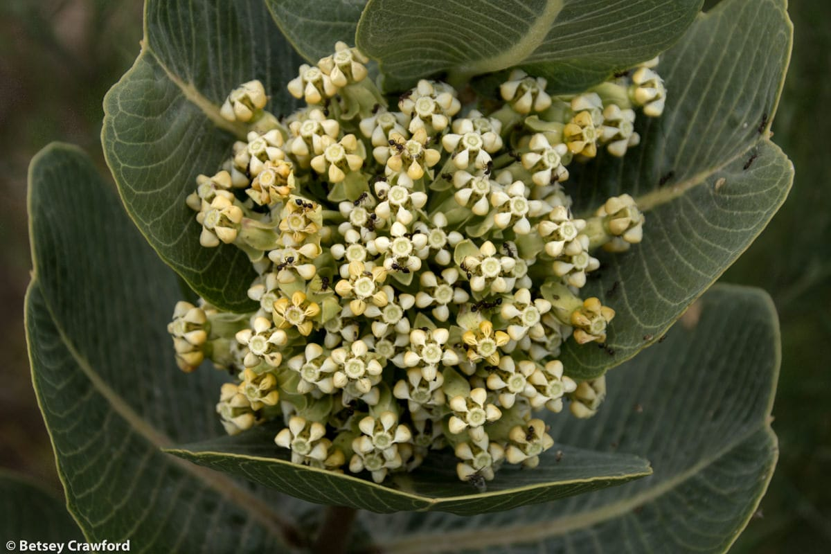 Broad-leaf milkweed (Asclepias latifolia) in Smoky Valley Ranch, Kansas