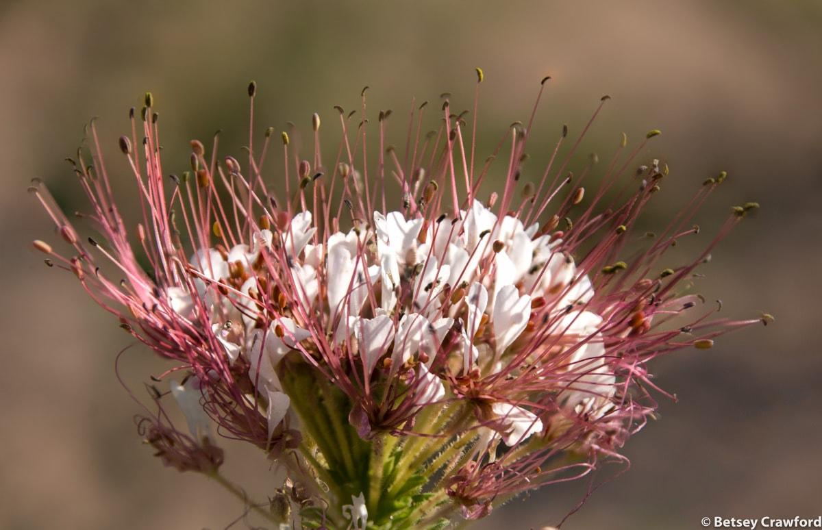 Clammy weed (Polanisia dodecandra) in Smoky Valley Ranch, Kansas