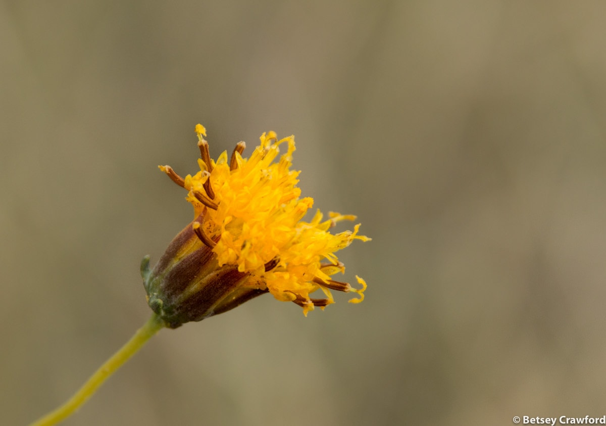 Slender greenthread (Thelesperma megapotamicum) in Smoky Valley Ranch, Kansas