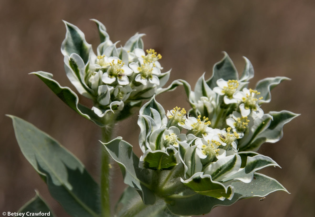 Snow on the mountain (Euphorbia marginata) in Smoky Valley Ranch, Kansas