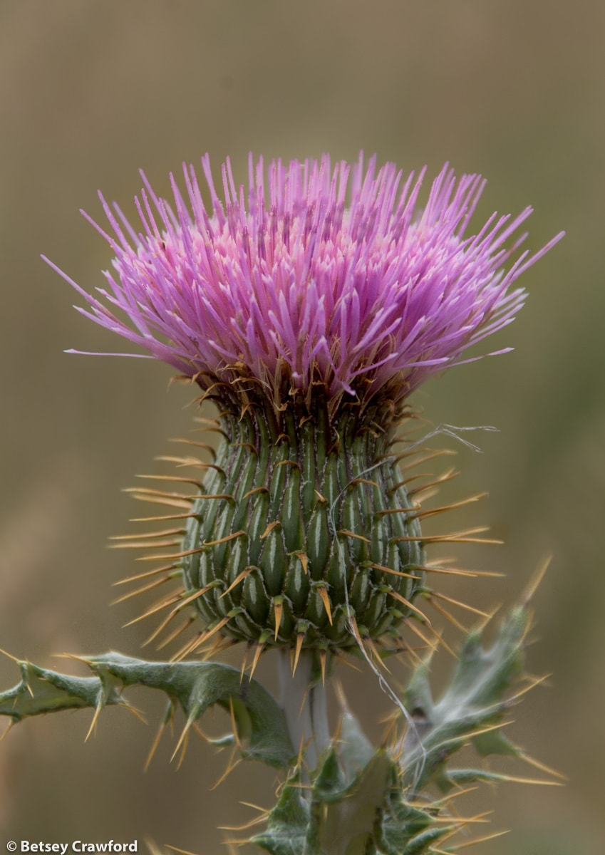 Wavy-leaf thistle (Cirsium undulatum) in Smoky Valley Ranch, Kansas
