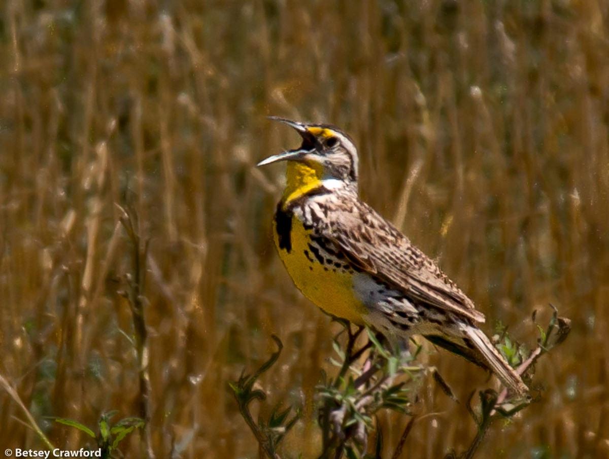 Western meadowlark (Sturnella magna) in Smoky Valley Ranch, Kansas