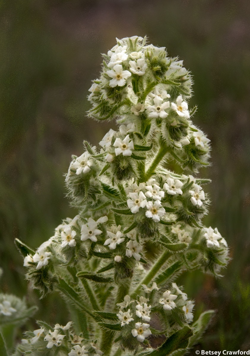 Bractless cryptantha (Cryptantha crassisepala) in the Pawnee National Grasslands, Colorado