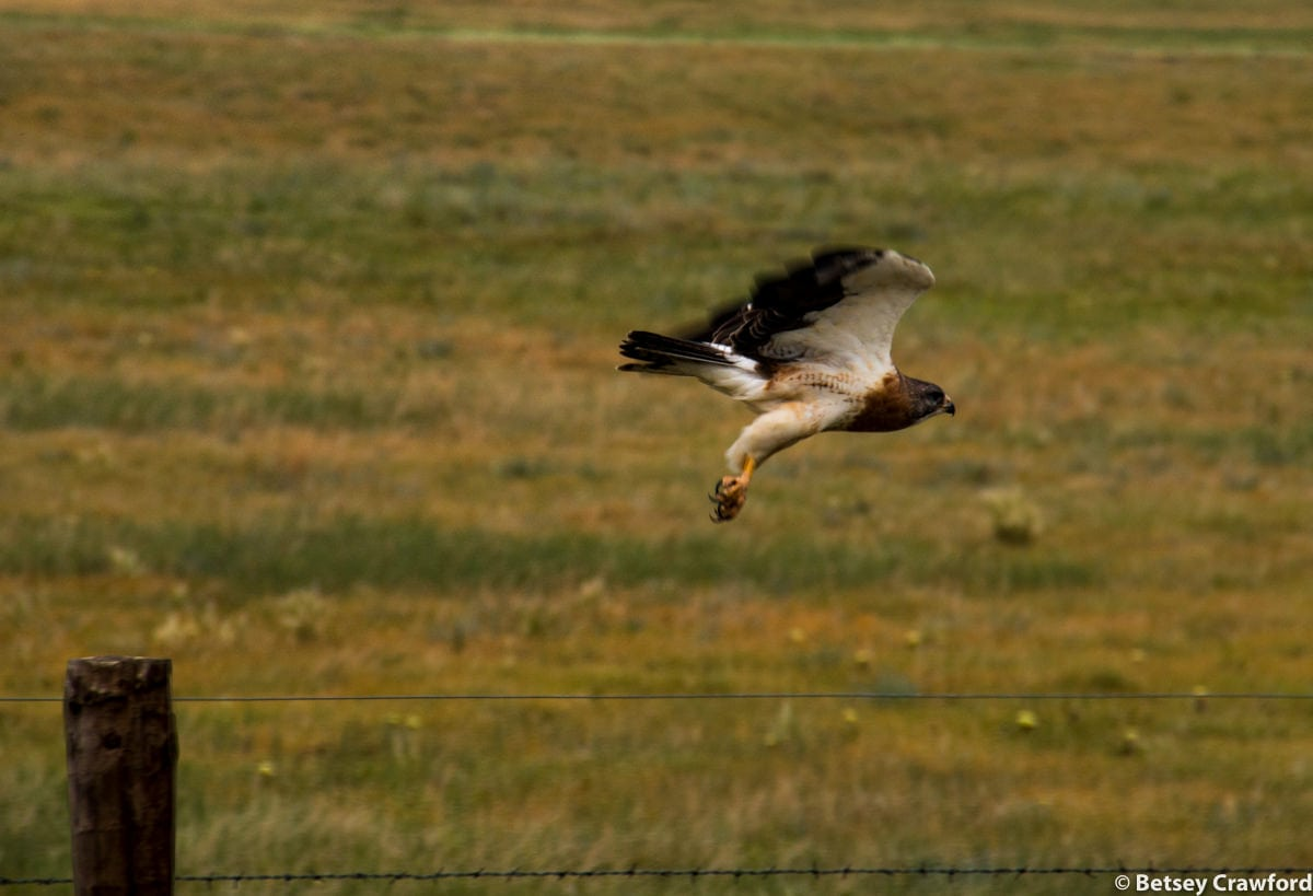 A hawk flies from a fence post in the Pawnee National Grasslands, Colorado