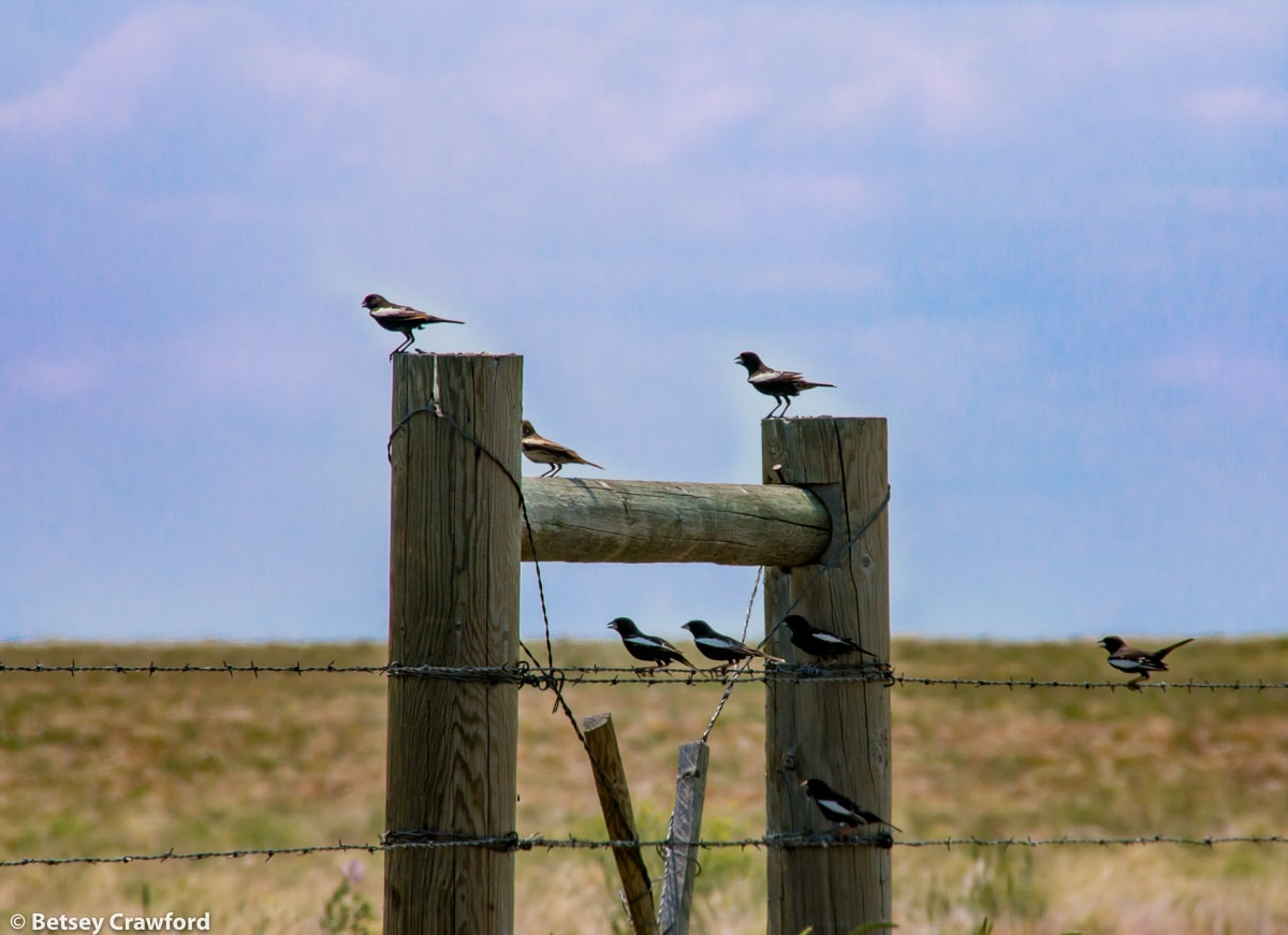 A flock of Colorado's state bird, the lark bunting, in the Pawnee National Grasslands, Colorado