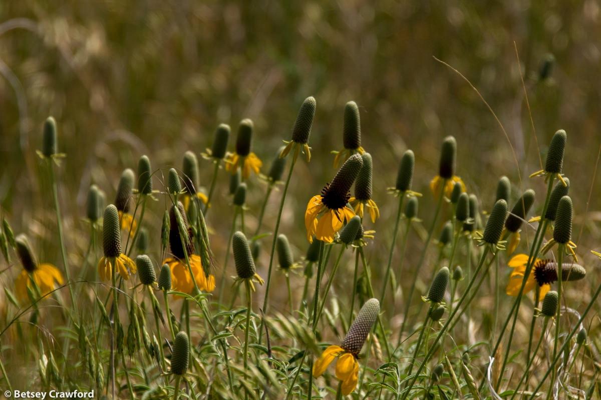 Prairie coneflower (Ratibida columnifera) in the Pawnee National Grasslands, Colorado