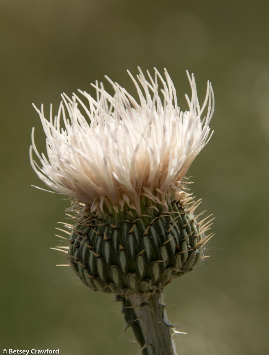 Prairie thistle (Cirsium canescens) in the Pawnee National Grasslands, Colorado