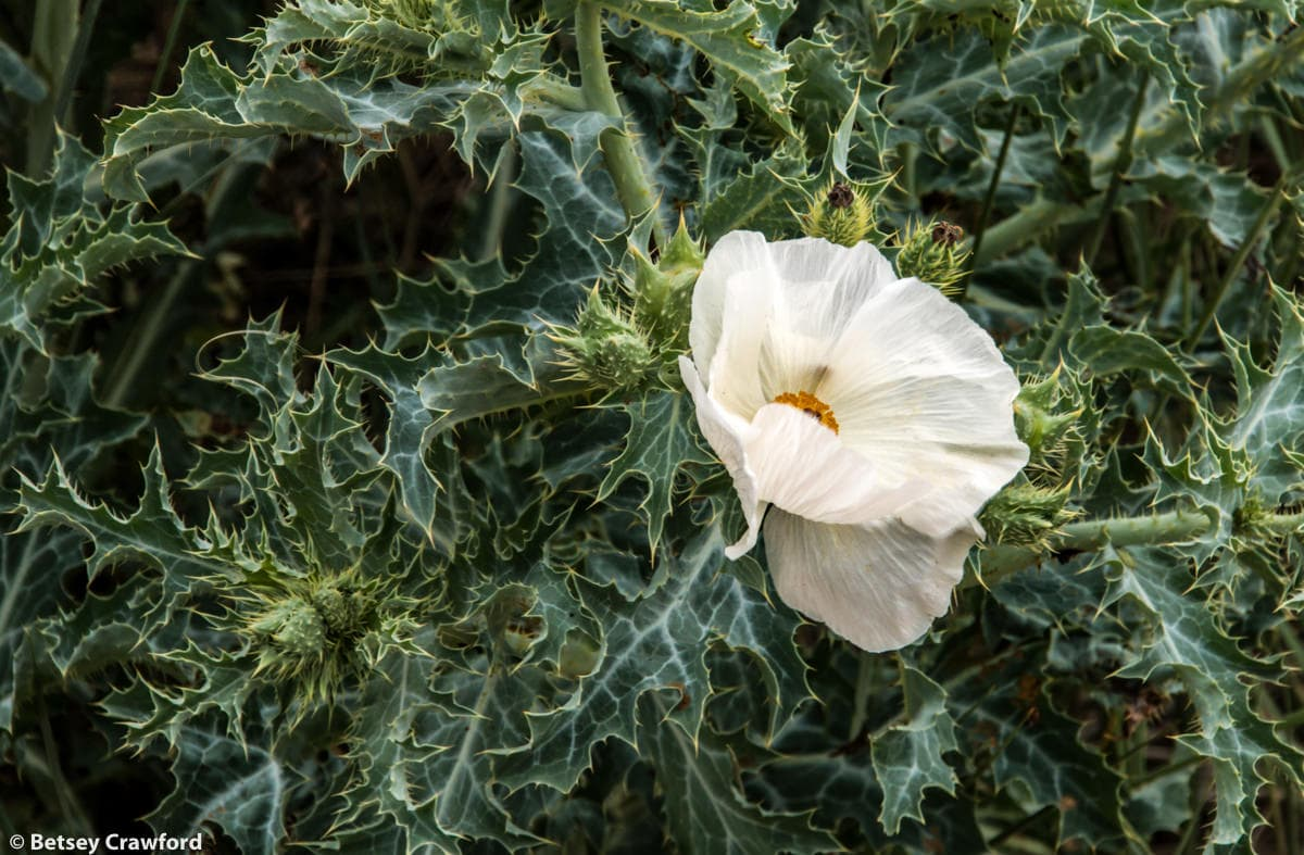 Prickly poppy (Argemone polyanthemos) in the Pawnee National Grasslands, Colorado