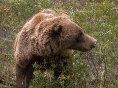 Grizzly bear (Ursus arctos horribilis), Denali National Park