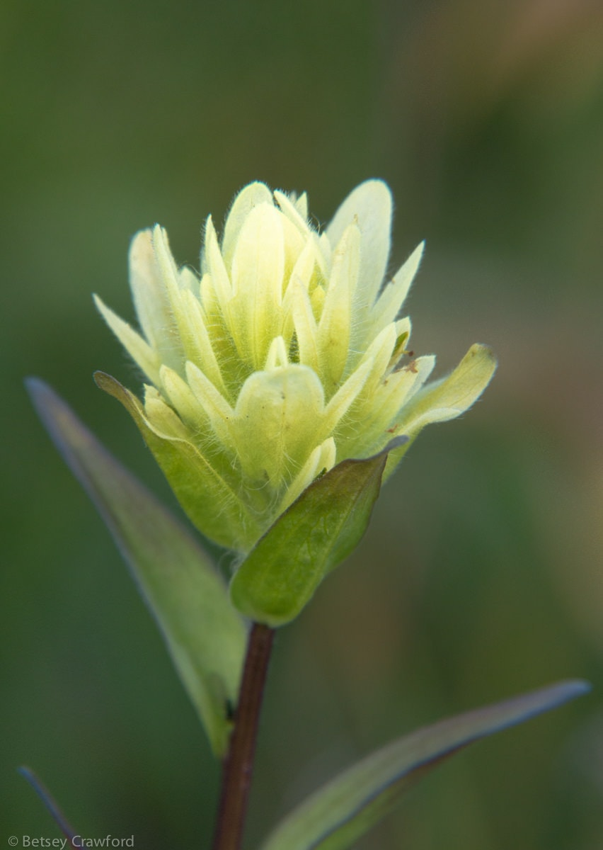 Coastal indian paintbrush (Castilleja unalaschensis)