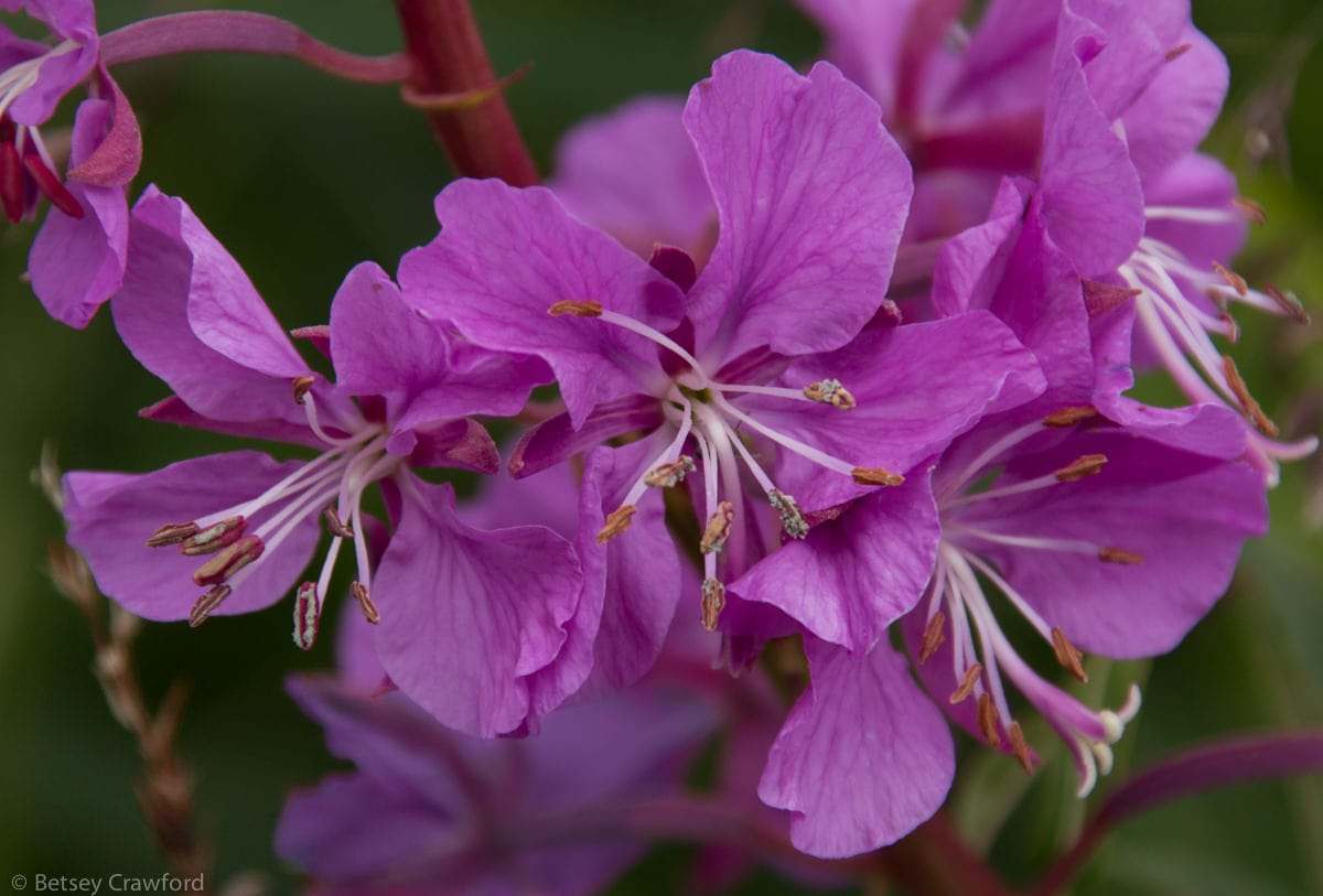 Fireweed (Epilobium angustifolium)