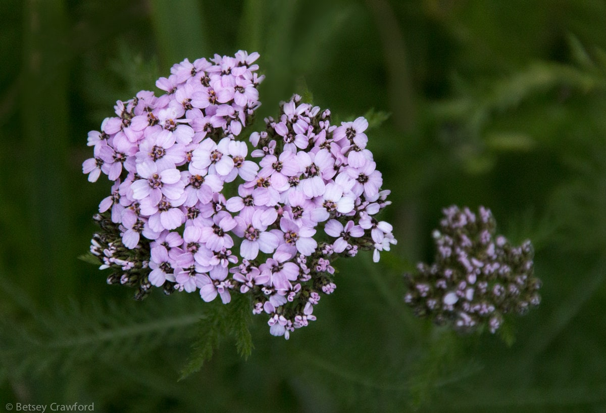 Northern yarrow (Achillea borealis)