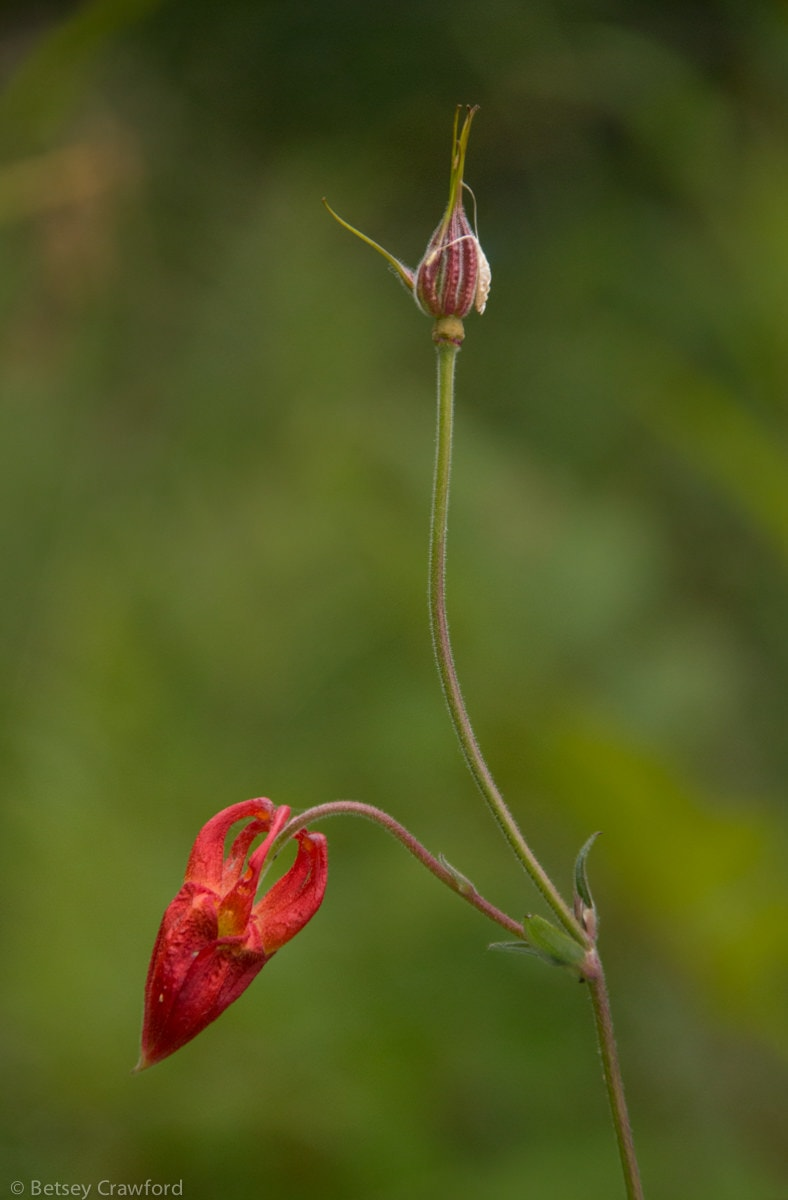 Western red columbine bud and seedhead (Aquilegia formosa)