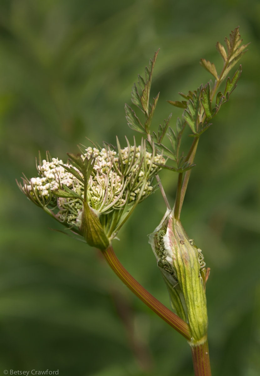 Wild celery (Angelica lucida)
