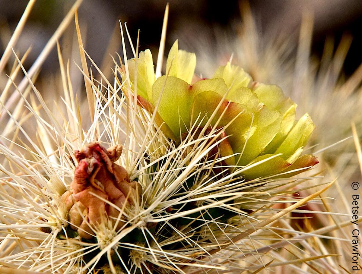 Ganders cholla (Cylindropuntia ganderi) Anza Borrego Desert, California