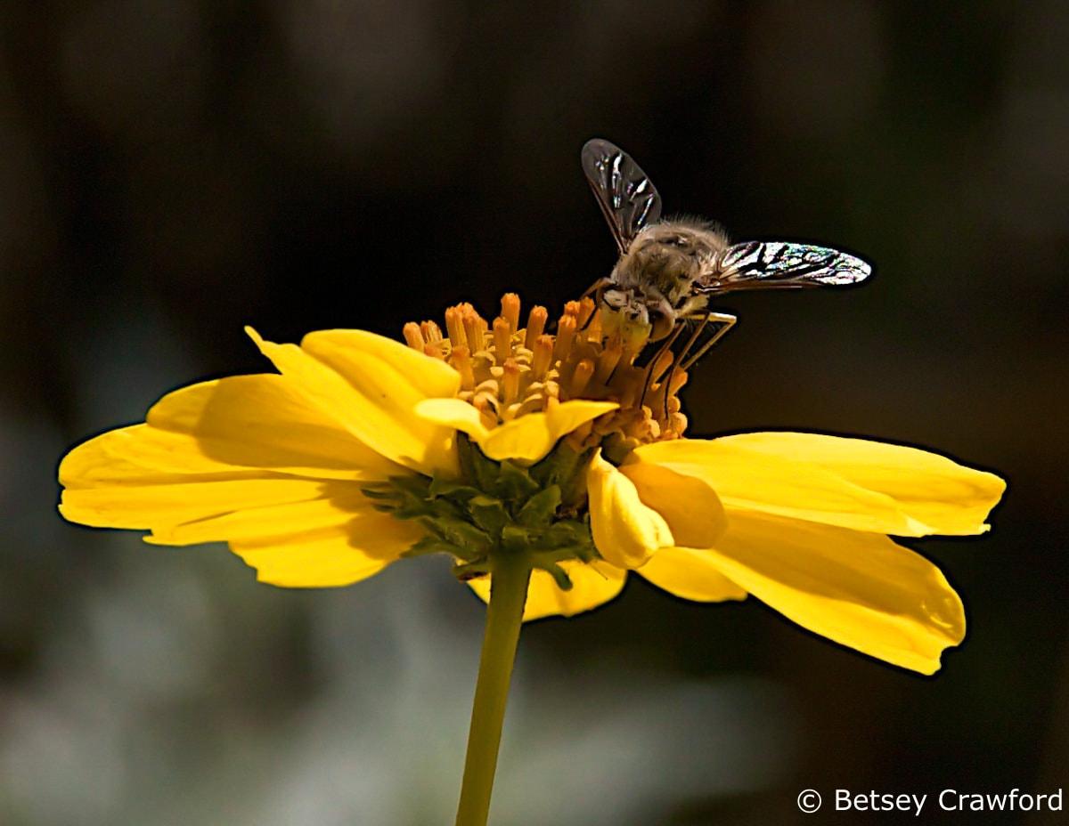 Brittlebush (Encella farinosa) Anza Borrego Desert, California