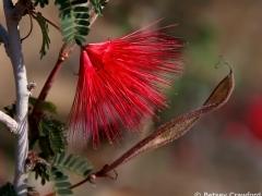 Fairy duster (Calliandra eriophylla) Anza Borrego Desert, California