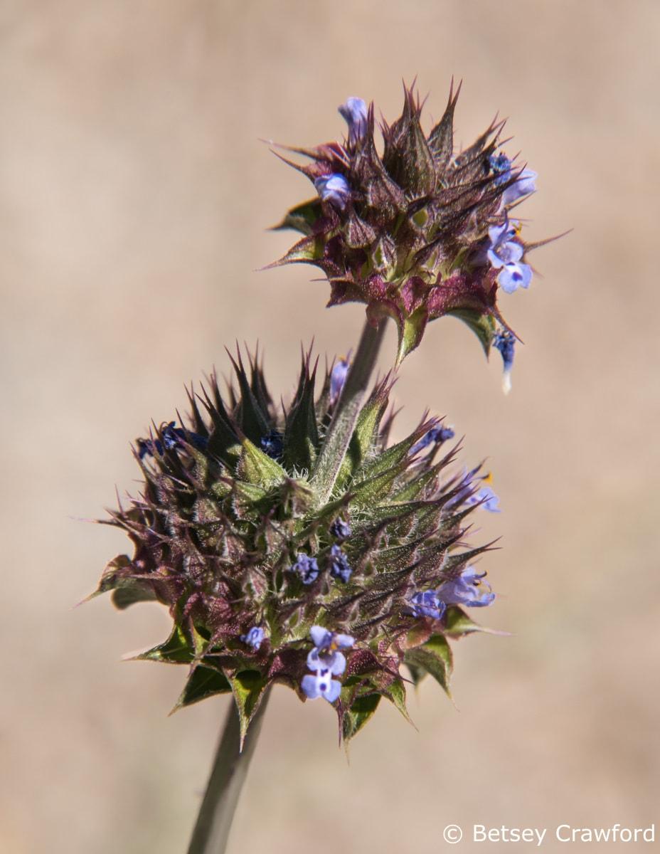 Chia (Salvia columbariae) Anza Borrego Desert, California