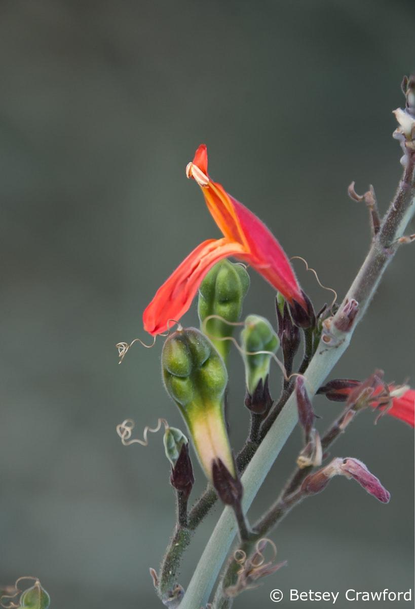 Chuparosa (Justicia californica) Anza Borrego Desert, California