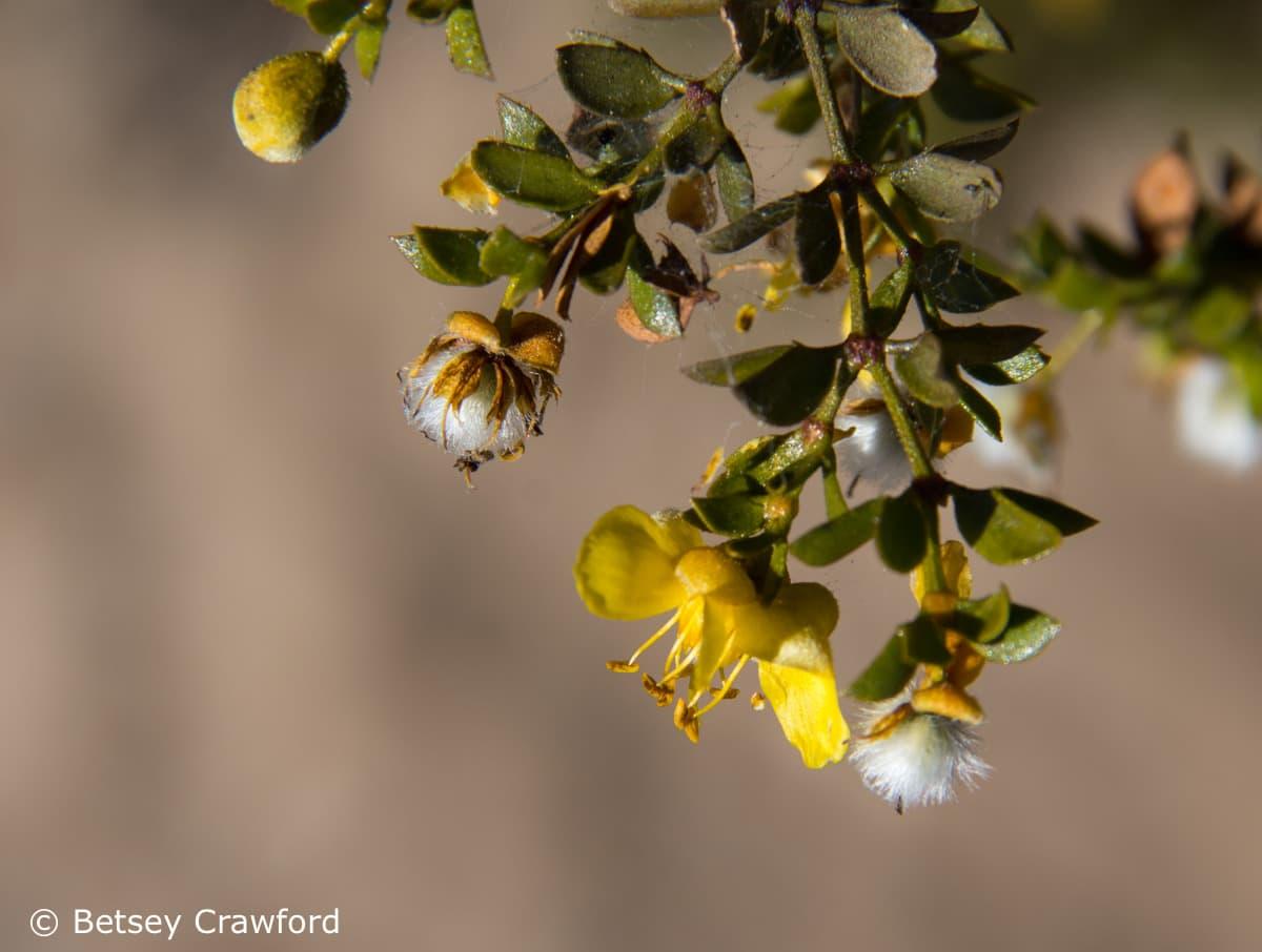 Creosote (Larrea tridentata) Anza Borrego Desert, California