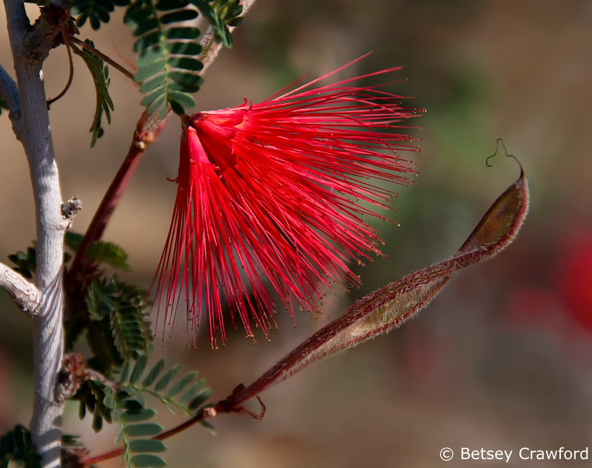 Fairy duster (Calliandra eriophylla) Anza Borrego Desert, California