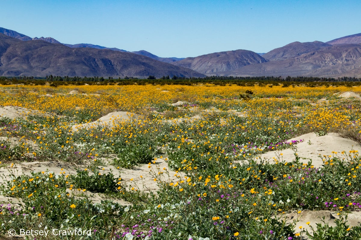 Field of wildflowers, Borrego Springs, Anza Borrego Desert, California