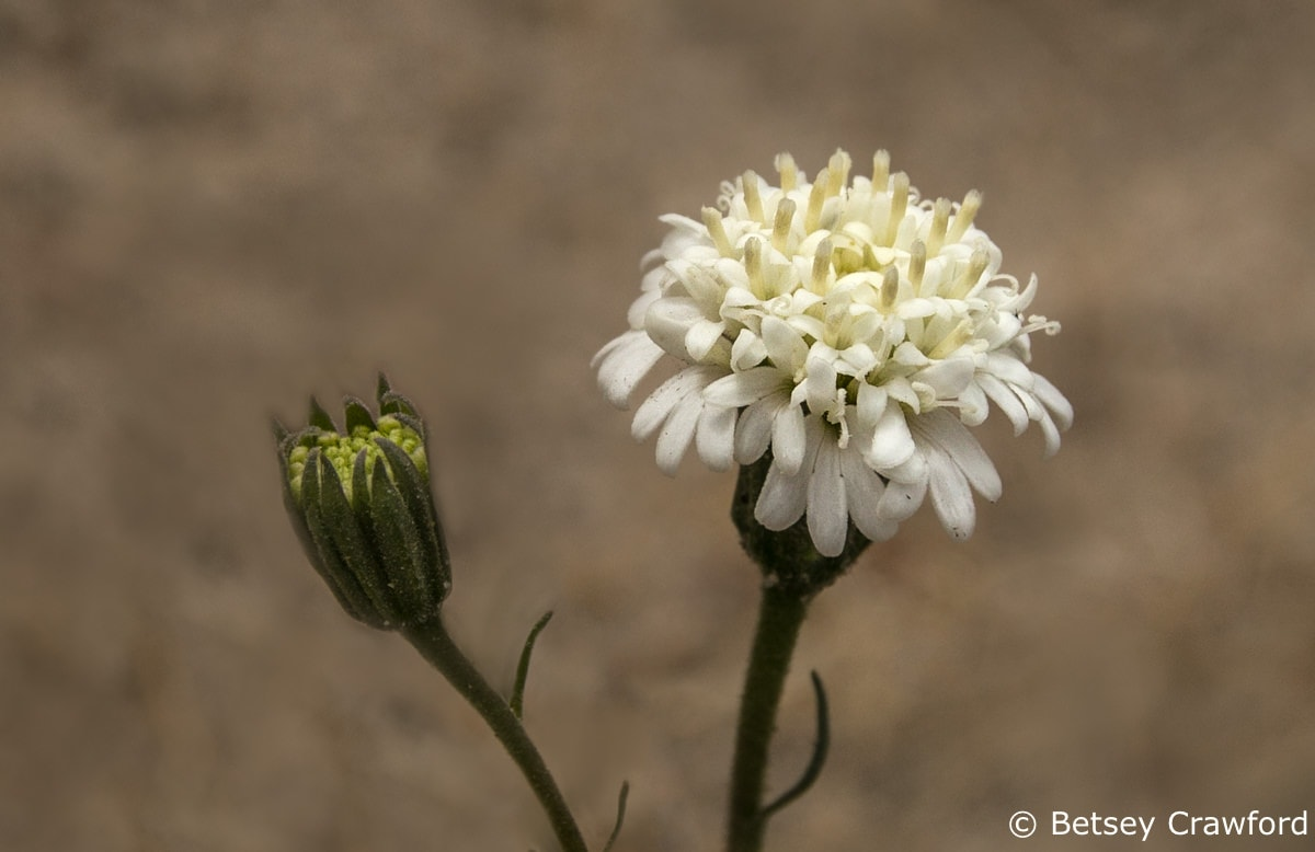 Fremont pincushion (Chaenactis fremontii) Anza Borrego Desert, California