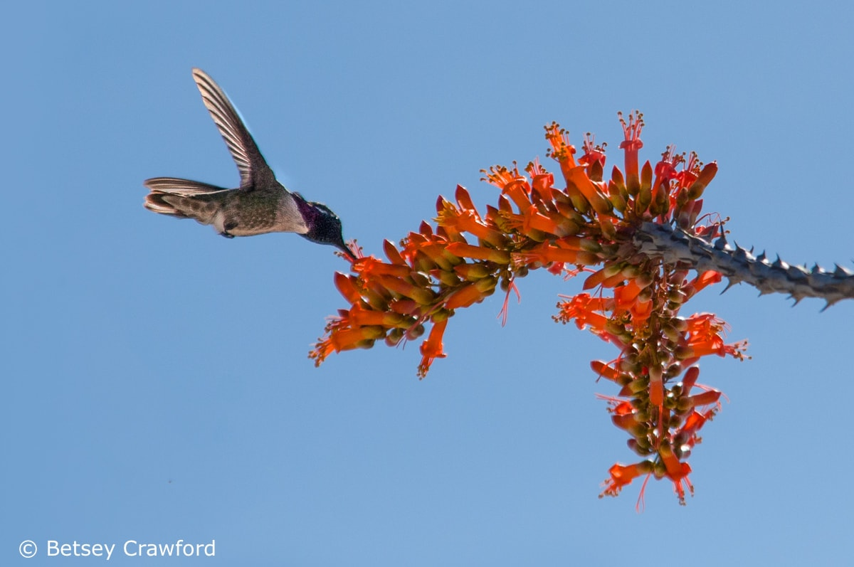 Ocotillo (Fouquieria splendens) with hummingbird, Anza Borrego Desert, California