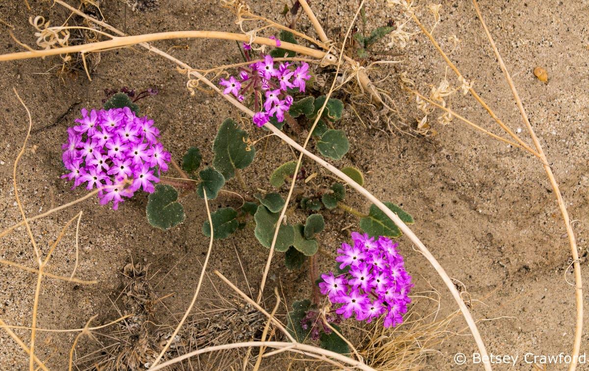 Sand verbena) Abronia villosa) Anza Borrego Desert, California