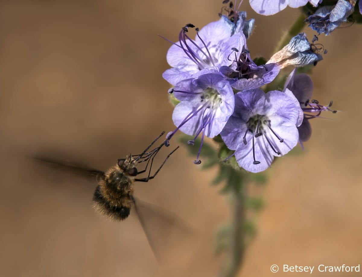 Wild heliotrope (Phacelia distans) Anza Borrego Desert, California