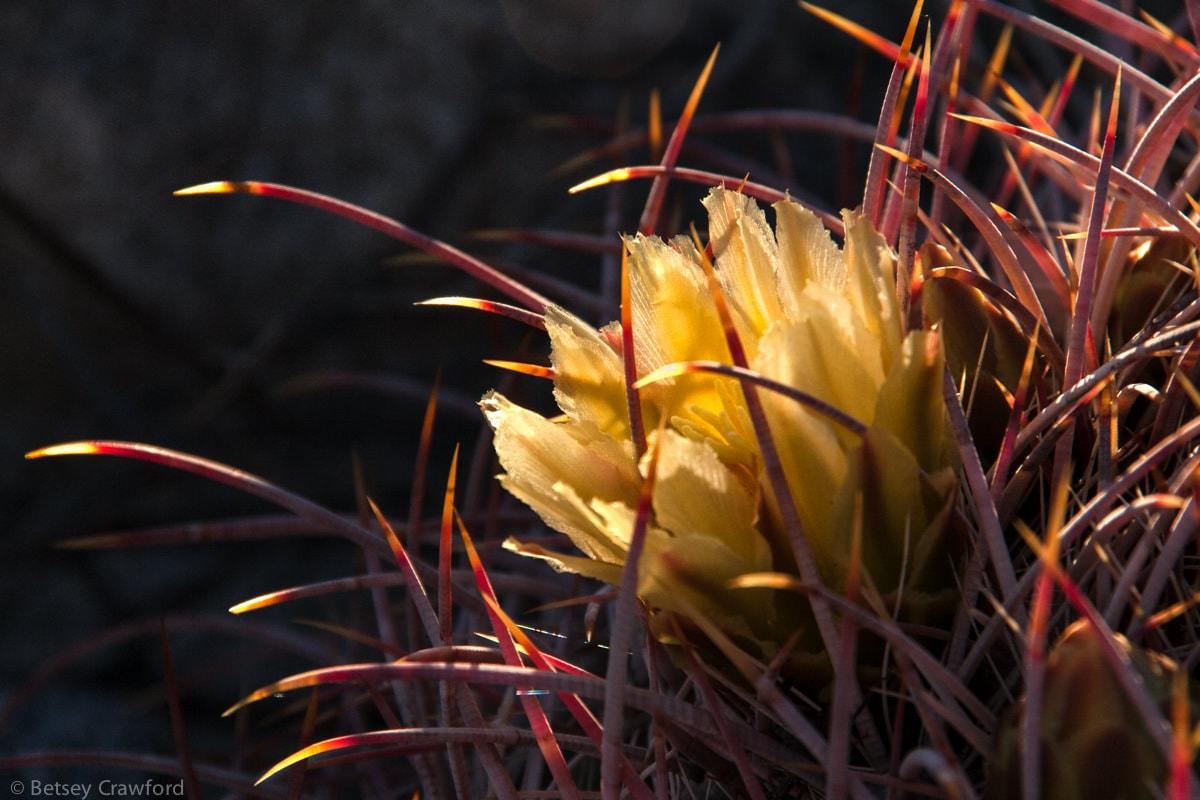 Barrel cactus (ferocactus cylindraceus) Anza Borrego Desert, California