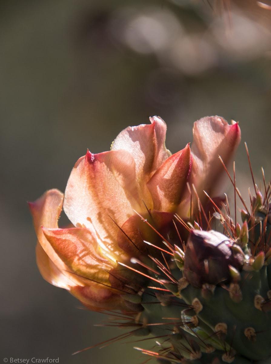 Buckthorn cholla (Cylindropuntia acanthocarpa) Saguaro National Park, Arizona