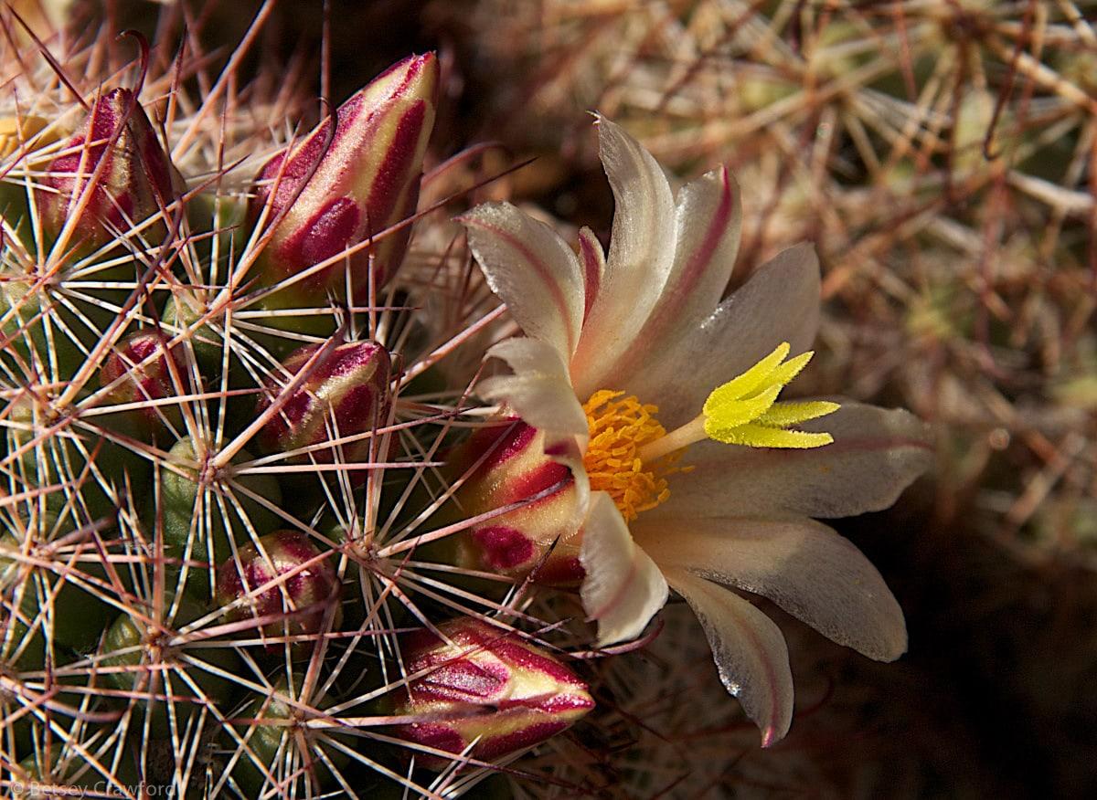Fish hook cactus (Mammillaria dioica) Anza Borrego Desert, California