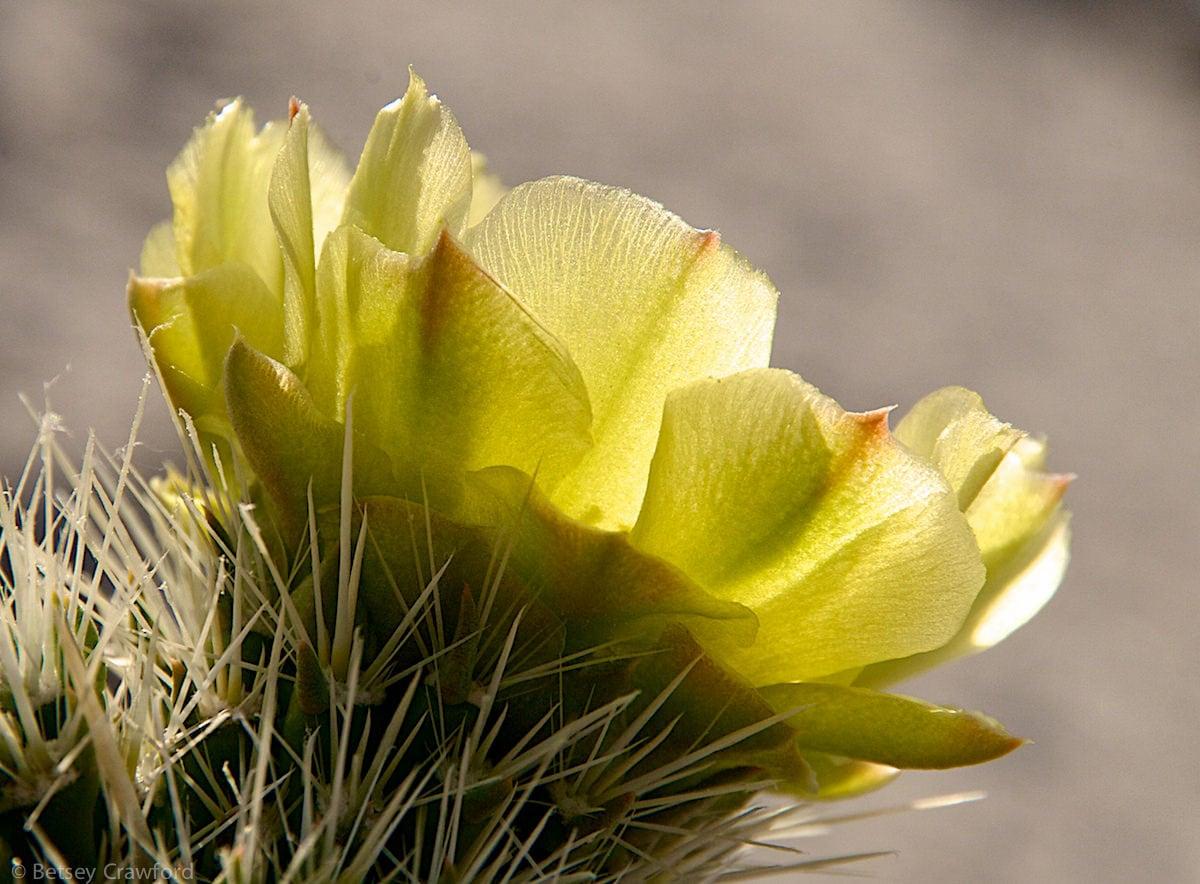 Gander's cholla (Cylindropuntia ganderi) Anza Borrego Desert, California