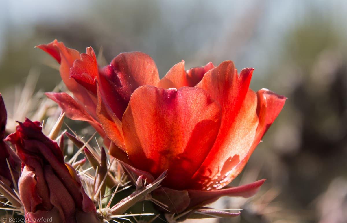 Staghorn cholla (Cholla cylindropuntia versicolor) Saguaro National Park, Arizona