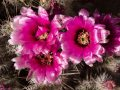 Strawberry hedgehog cactus (Echinocereus fendleri) Cross Canyon, Utah