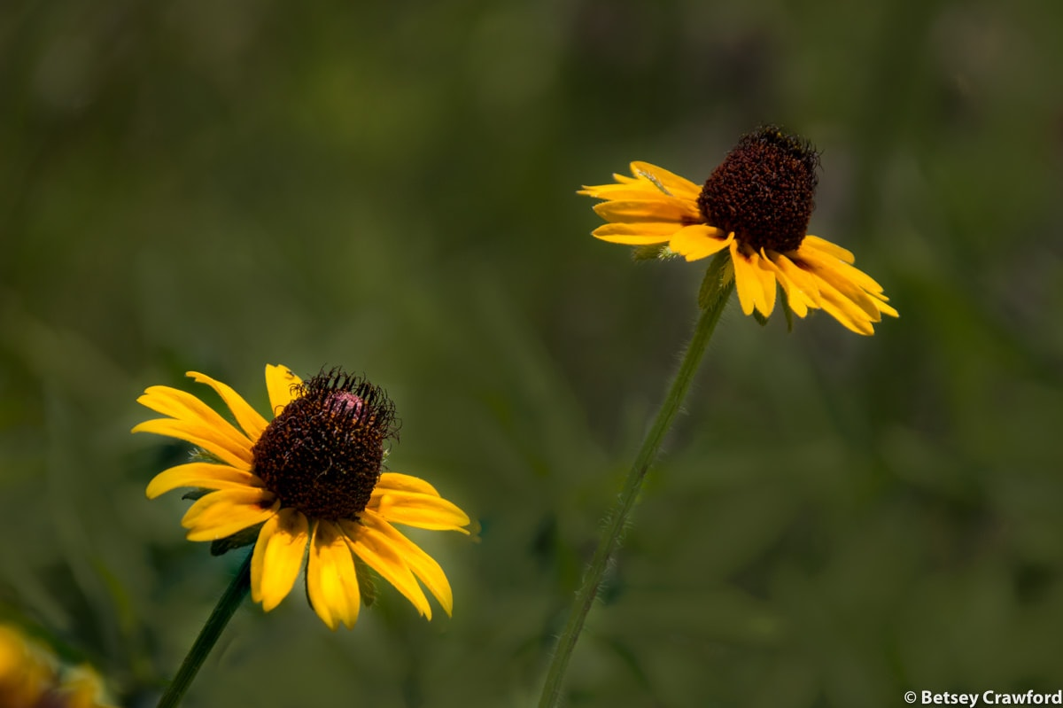 Brown-eyed Susan (Rudbeckia hirta)in the Konza Prairie Biological Station in the Flint Hills in central Kansas