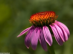 Black Sampson echinacea (Echinacea angustifolia) in the Konza Prairie Biological Station in the Flint Hills in central Kansas