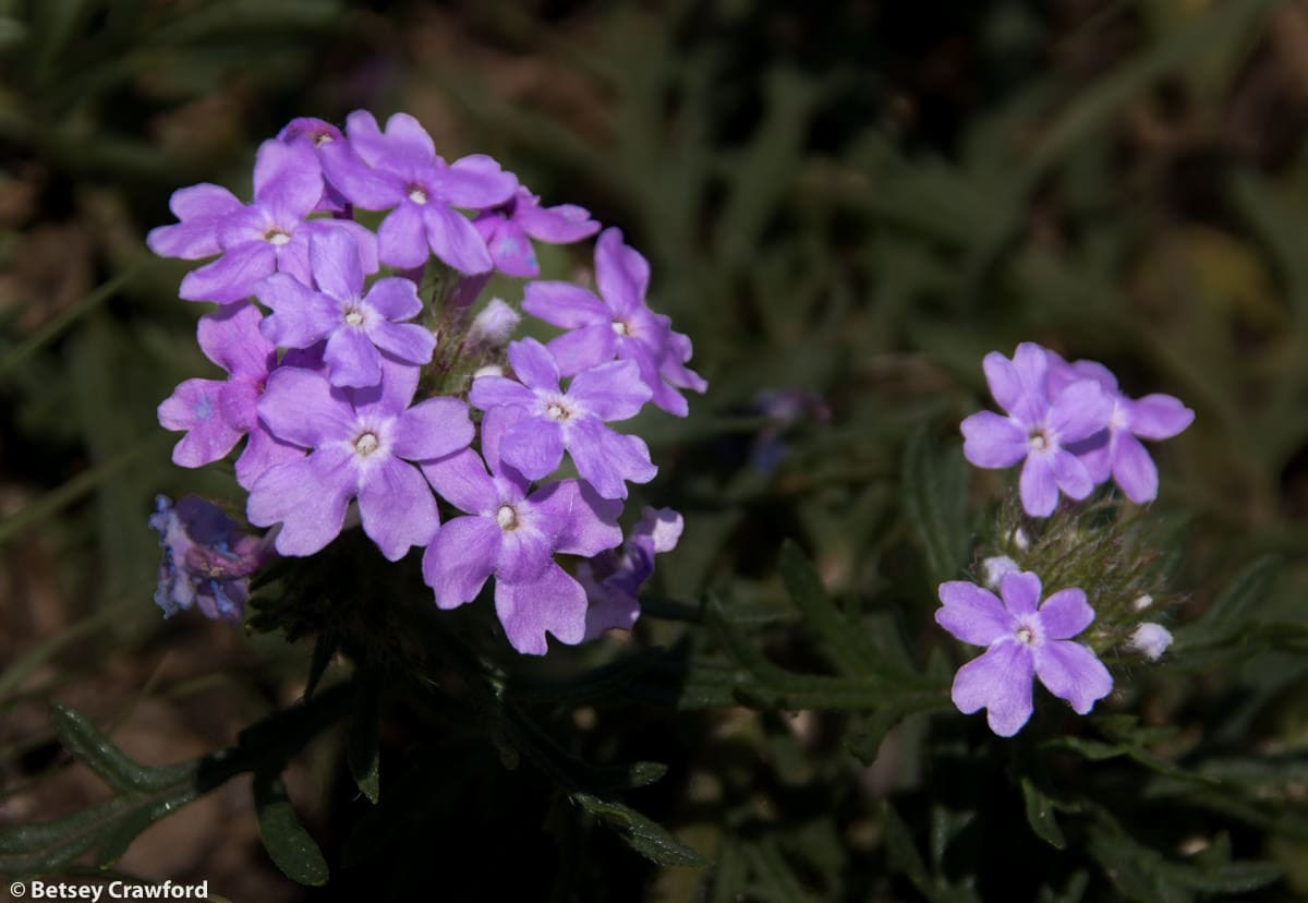 Dakota verbena (Glandularia bipinnatifida)in the Konza Prairie Biological Station in the Flint Hills in central Kansas