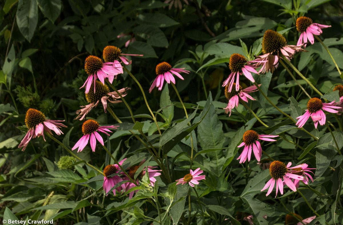 Eastern purple coneflower (Echinacea purpurea) in the Tallgrass Prairie National Preserve in the Flint Hills in central Kansas