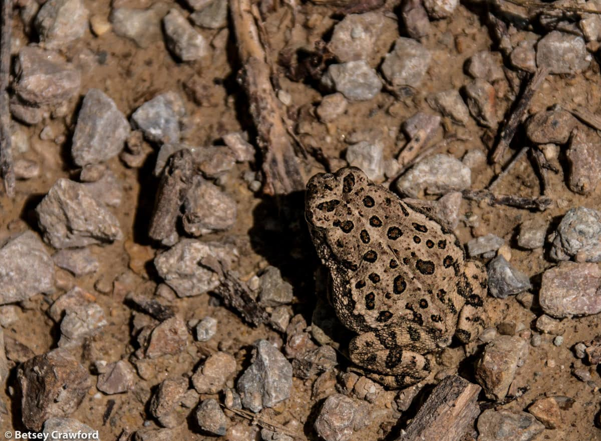 Great Plains toad (Anaxyrus cognatus) in the Konza Prairie Biological Station in the Flint Hills in central Kansas