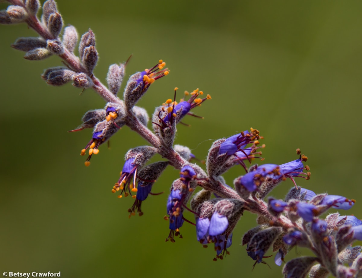Lead plant (Amorpha canescens) in the Konza Prairie Biological Station in the Flint Hills in central Kansas