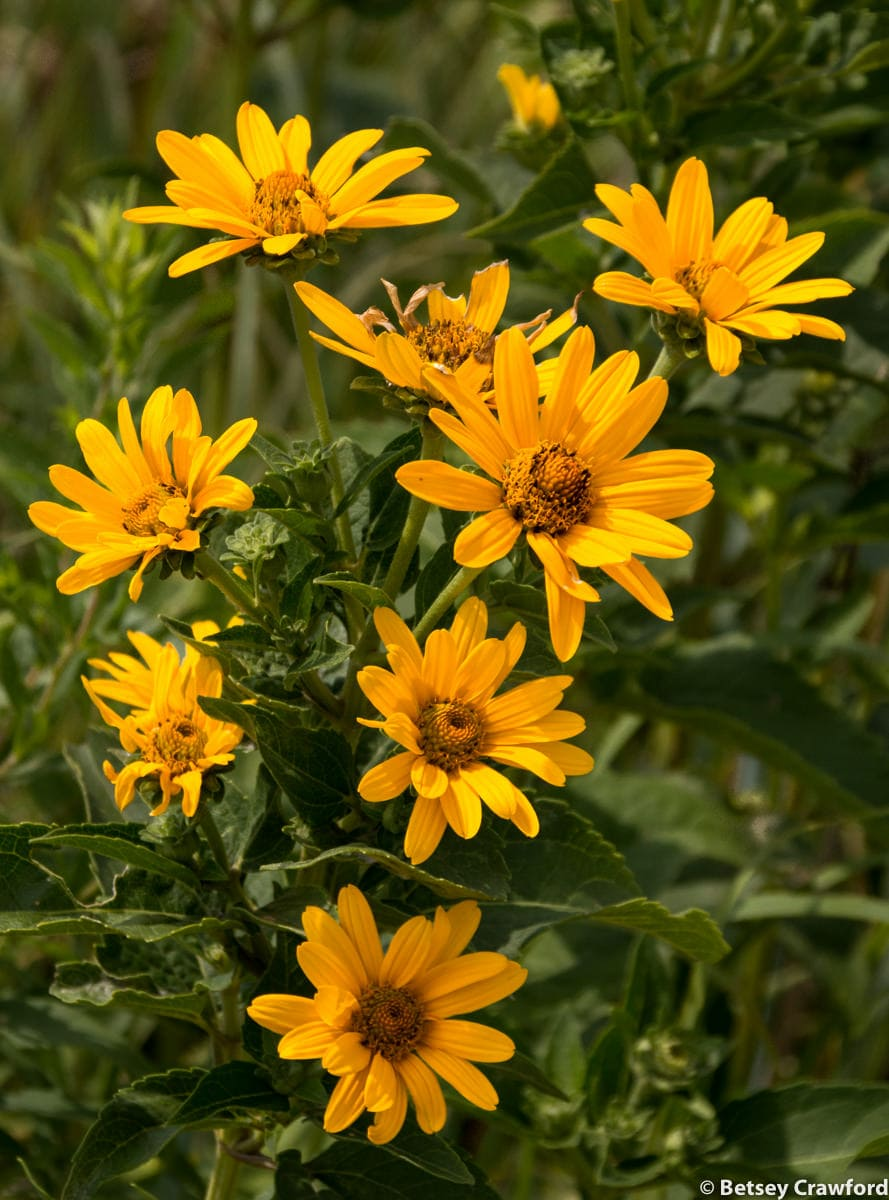 Ox-eye (Heliopsis helianthoides) in the Tallgrass Prairie National Preserve in the Flint Hills in central Kansas