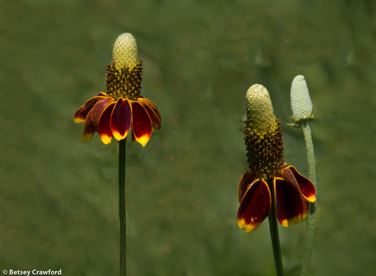 Prairie coneflower (Rudbeckia nitida) in the Konza Prairie Biological Station in the Flint Hills in central Kansas